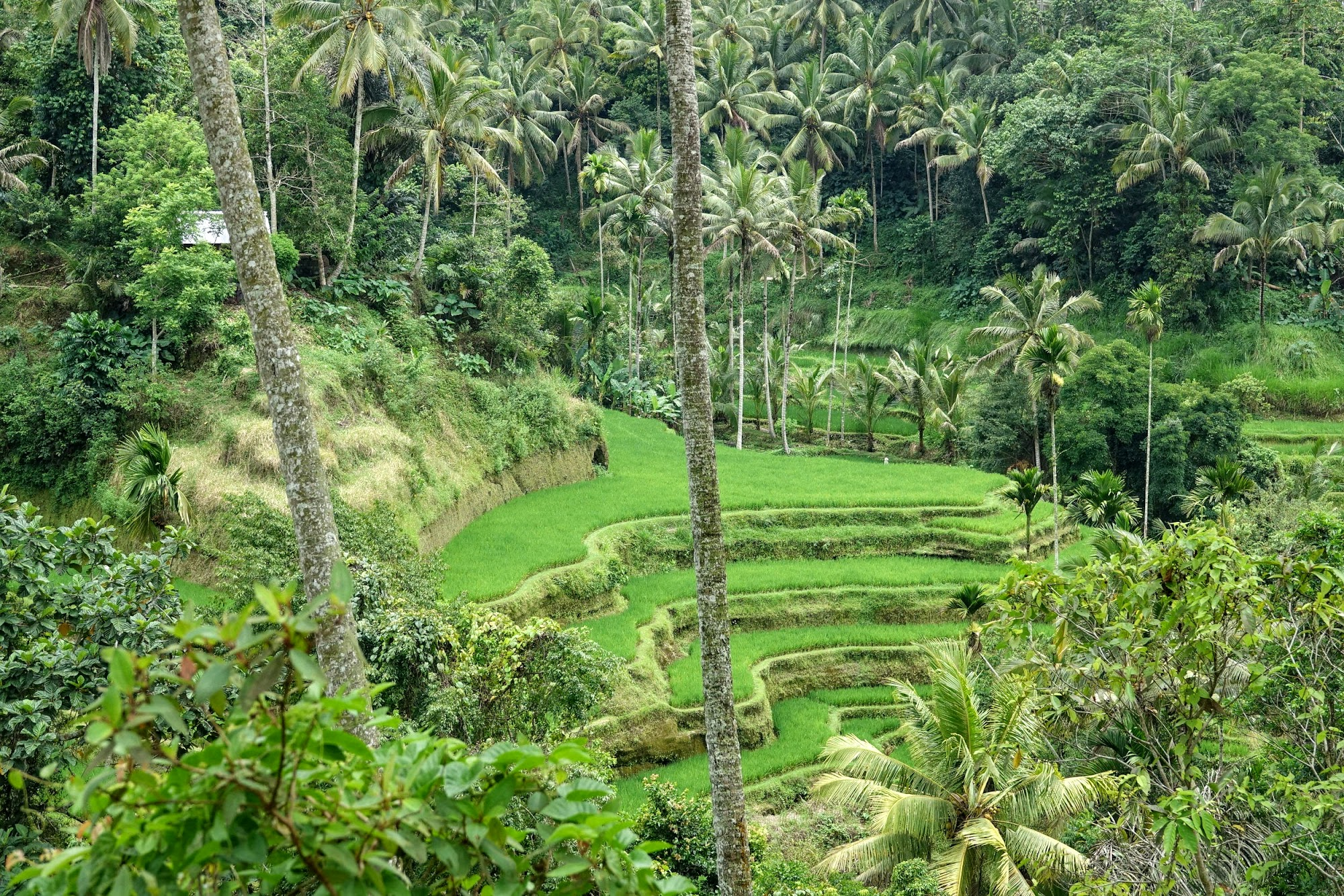 Indonesia. Bali Tegalalang Rice Terraces Banner. View of the Terraces