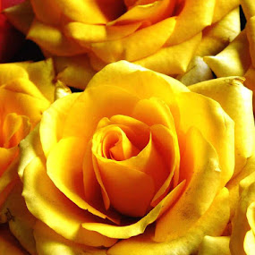 Delicate in Yellow by Nadir Aziz - Novices Only Flowers & Plants ( bouquet, smooth, natue, beauty, yellow, soft, love, rose, pure, friendship, bunch, light, flower,  )