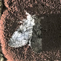 The Laugher Moth