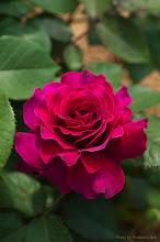 Photo: Rose