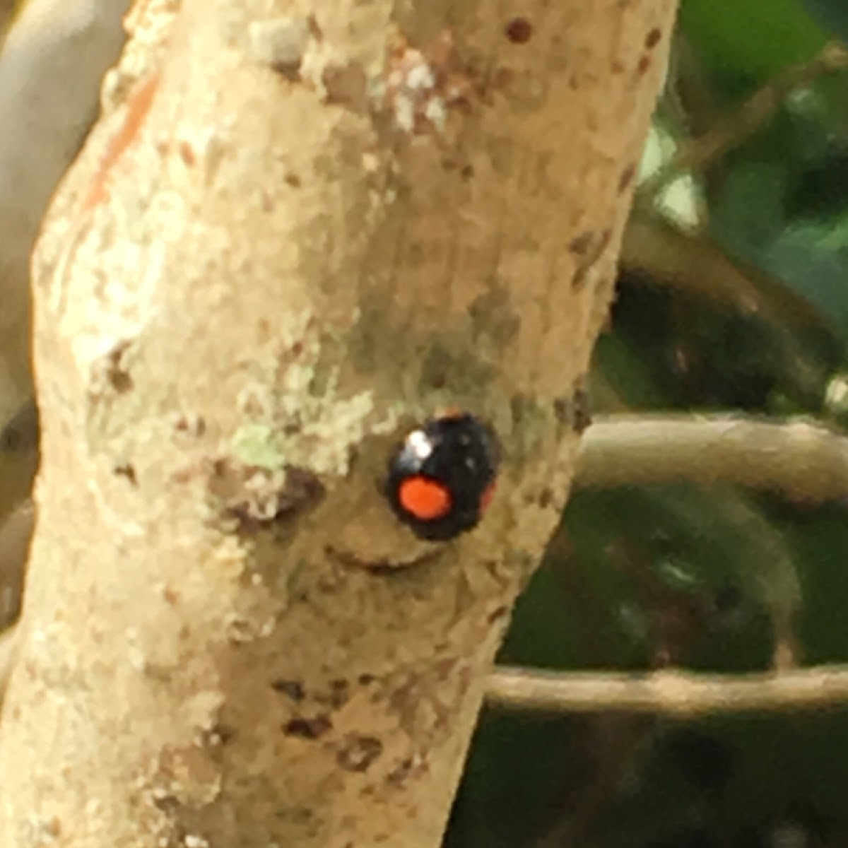 Twice stabbed lady beetle