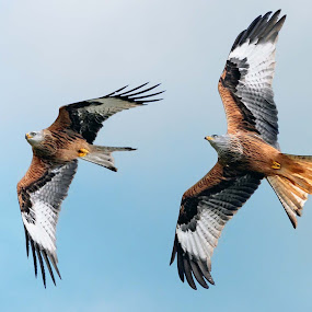by Stephen Crawford - Animals Birds ( bellymack, feeding, kites, in flight, red kites, bif,  )