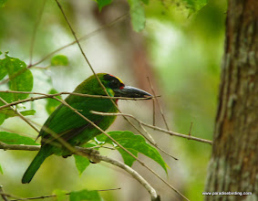 Photo: Gold-whiskered Barbet, subspecies chrysopsis endemic to Borneo; Poring Hot Springs, Kinabalu National Park