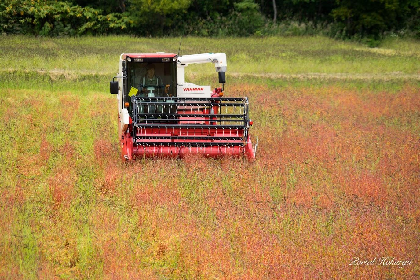 紅葉した畑を刈り取ります