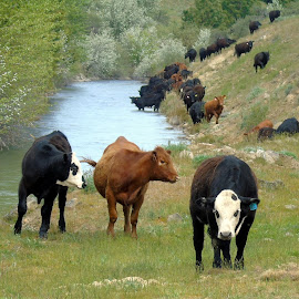 COW RANCH by Cynthia Dodd - Novices Only Wildlife ( creek, nature, cows, livestock, animals, fields, trees, wildlife )