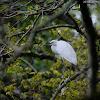 Egretta garzetta 小白鷺