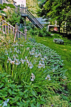 Photo: Snow Queen Siberian Iris and Francee Hosta - flowers come and go but Texture will make or break your landscape. Also, the white flowers compliment the white variegations.