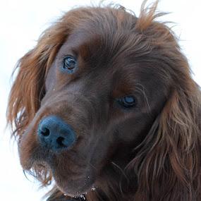 Lars by Susan Hughes - Animals - Dogs Portraits ( irish setter, lars,  )