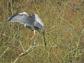 Photo: Priorslee Flash Moving around in trees with long legs can be a challenge – as this Grey Heron tries to keep its balance. (Ed Wilson)