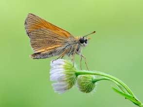 Photo: Thymelicus sylvestris, Hespérie de la houque / Bande noire http://lepidoptera-butterflies.blogspot.fr/