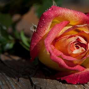 With Love by Gary Enloe - Flowers Single Flower ( plant, rose, pedals, thorns, flower )