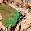 Green hairstreak; Cejialba