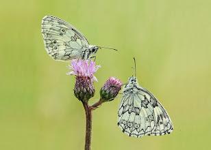 Photo: Demi-Deuil, Melanargia Galathea, Marbled White, Пестроглазка галатея, Schachbrett, Medioluto Norteña  http://lepidoptera-butterflies.blogspot.com/
