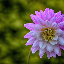 by Marco Bertamé - Flowers Single Flower ( pink, dahlia, petals )