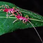 Raspy Crickets