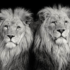 Brothers by Chris Sargent - Animals Other Mammals ( lions. brothers, male lion )