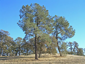 A stand of foothill pines sits on a grassy hill.