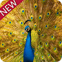 peacock peafowl theme APK icon