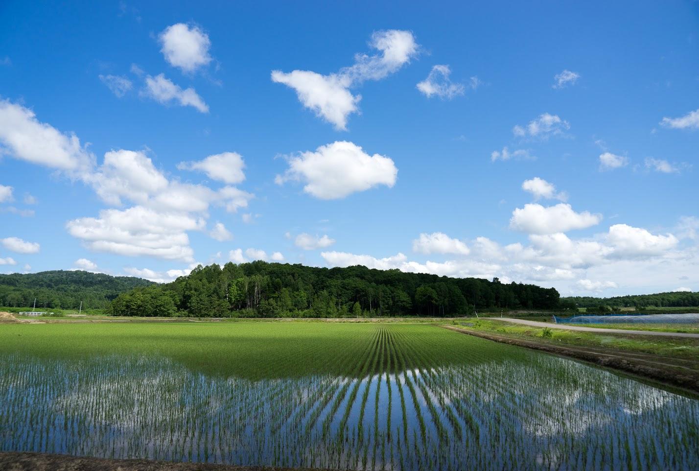 ぐんぐん育つ稲(北竜町美葉牛地区)
