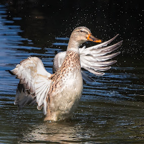Female Mallard by Don Holland - Animals Birds