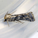 Noctuid Moth (Male)