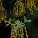 Holm Oak; Encina