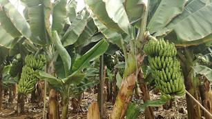 Cultivo de plátano.