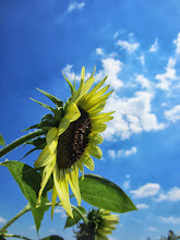 Photo: Side of a sunflower and clouds at Cox Arboretum and Gardens of the Five Rivers Metroparks in Dayton, Ohio.