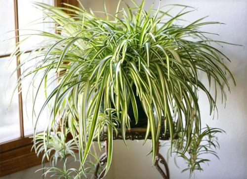 5 loại cây xanh tốt trong nhà thiếu sáng - Xd6SBPQch9oDa4w3pID VLQbGc1gUxI8HMMsdZ1CH6o=w500 h362 no
