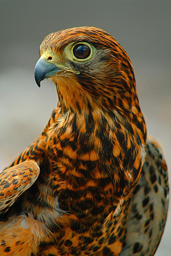 by Rudi Antoro Simbah II - Animals Birds