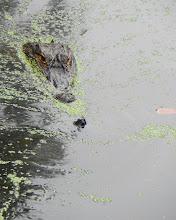 Photo: Aligator chasing a turtle