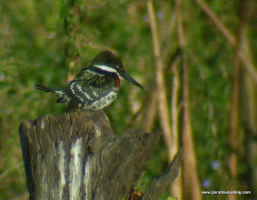 Photo: Green Kingfisher; Rancho Primavera, near Tuito, Jalisco