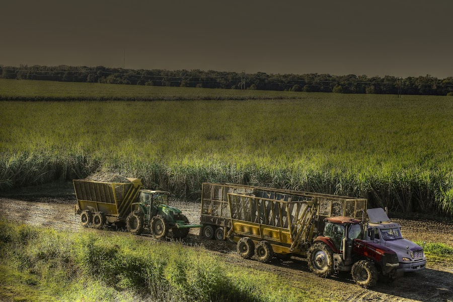 Harvesting Sugarcane by Ron Olivier - Digital Art Places ( harvesting sugarcane,  )