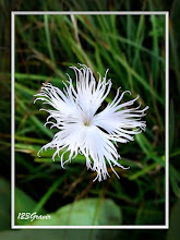 Photo: Œillet de Montpellier, Dianthus hyssopifolius