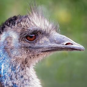 Emu by Dave Lipchen - Animals Birds ( emu )