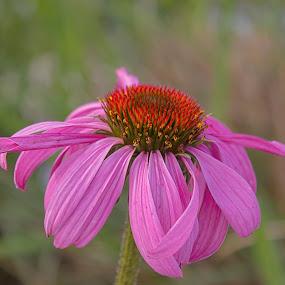 The Purple Power by Thomas Vasas - Flowers Single Flower ( macro, nature, gardens, flowers,  )