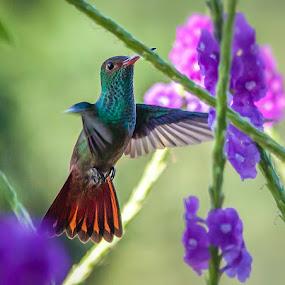 The Gauntlet by Bill Killillay - Animals Birds ( bird, breakfast, rufous tail, humming bird, flying the gauntlet )