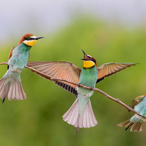 Hi there... by Blaž Ocvirk - Animals Birds ( merops apiaster )