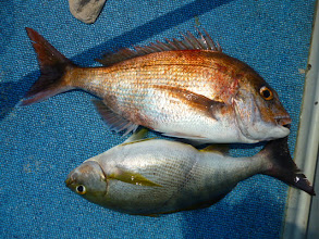 Photo: すぐさま、タムラさん、真鯛とイサキのダブル!