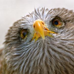 Falcon closer.jpg