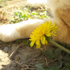 Spring in autumn. by Teodora Jelić - Flowers Single Flower ( spring, cat, dandelion )