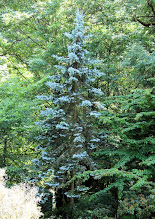 Photo: Blueish conifer at Lakewold Gardens - ID anyone?