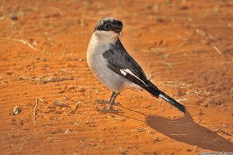 Photo: Fiscal Flycatcher (Afrikaans: Fiskaalvliëevanger), Mokala National Park, South Africa