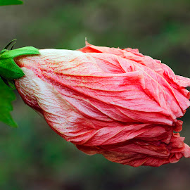 Hibiscus wax mallow blosso closed malvaviscus arboreus red plant by James Morris - Flowers Flowers in the Wild ( flowers, wax mallow blosso, hibiscus, arboreus red plant, folwers in the wild, closed malvaviscus,  )