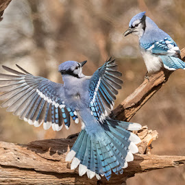 by Carl Albro - Animals Birds ( flight, bird in flight, blue jay, bird, flying, fighting, birds, wildlife )