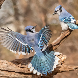 Blue Jays Fighting 1902013463.jpg