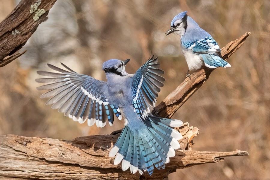 by Carl Albro - Animals Birds ( flight, bird in flight, blue jay, bird, flying, fighting, birds, wildlife )