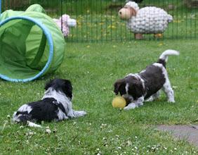 Photo: 2 Spielmöpse (Ellie und Toffie)