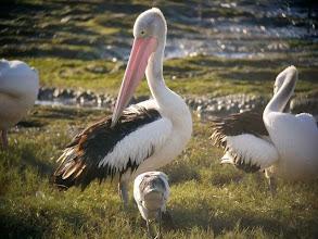 Photo: コシグロペリカン Australian Pelican