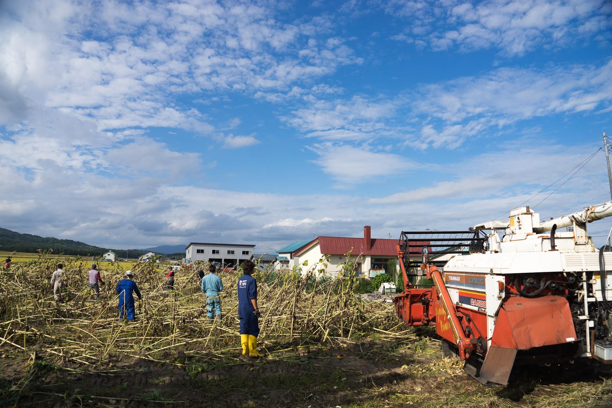ひまわりナッツ用のひまわりの種収穫